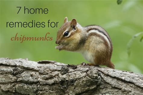 chipmunk in house top 28 how to get rid of chipmunks how to get rid of chipmunks in your garden