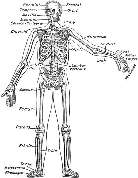 human bones diagram human skeleton diagram