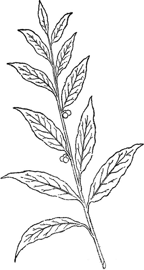 line drawing pretty berry branch line the graphics