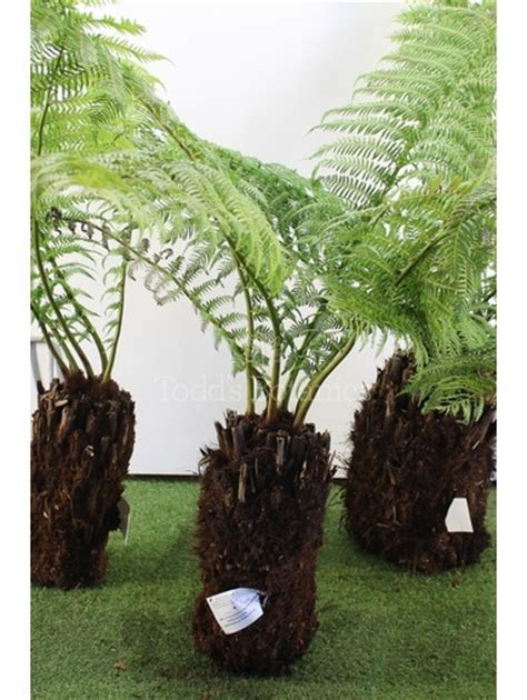 tree delivery uk buy dicksonia tree ferns uk delivery