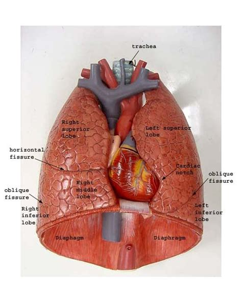 chest cavity diagram lungs diagram labeled thoracic cavity lungs