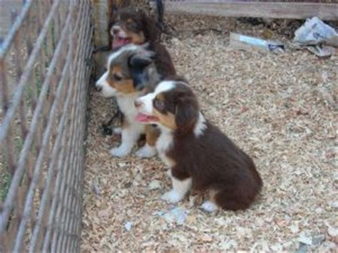 golden retriever puppies sacramento area miniature australian shepherd puppies in california