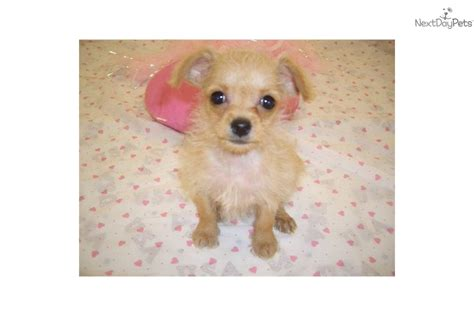 teacup chi poo puppies for sale chi poo chipoo puppy for sale near springfield missouri 9970cd50 6621
