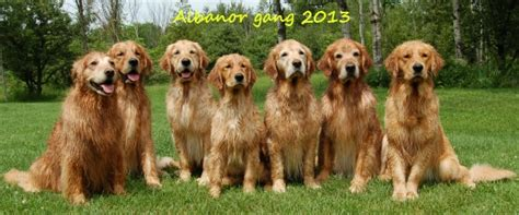 golden retriever buy buy golden retriever scotland dogs our friends photo