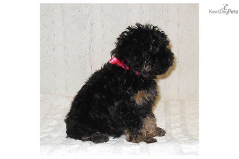 yorkie puppies for sale in sioux city ia yorkie poo for sale iowa breeds picture