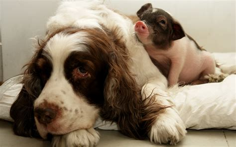 puppy and piglet and pig wallpapers and images wallpapers pictures photos