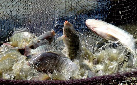 Ikan Lele Sale Ikan Lele Salai fish farming in india tilapia raising aquaculture