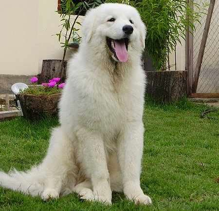 largest breed of 10 largest breeds viral fancy