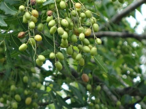neem for garden pests the medicinal properties of neem health