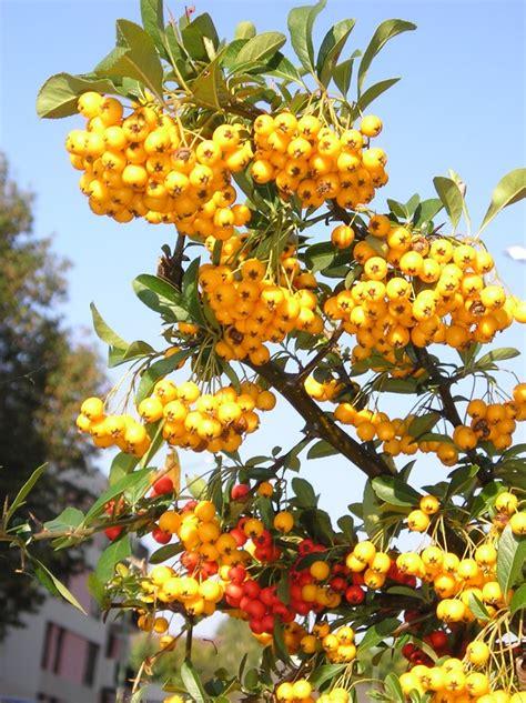 Arbuste à Fruits Rouges by Arbuste A Fruit Affordable Sureau With