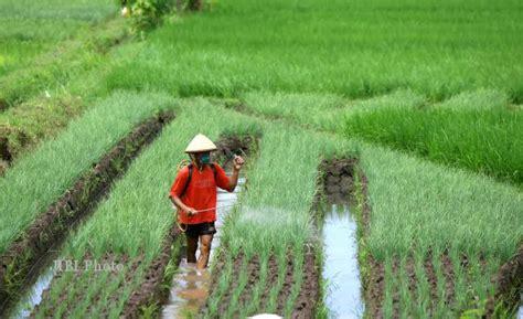 Bibit Bawang Merah Bantul semprotkan cairan pembasmi jamur feature 187 harian jogja