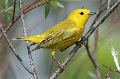 yellow warbler attracting birds birds and blooms