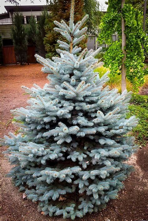 blue trees for sale buy baby blue spruce for sale the tree center