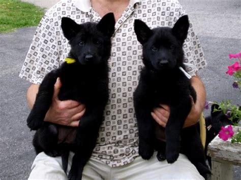 all black german shepherd puppies for sale boorman haus black german shepherds quot best in working quot