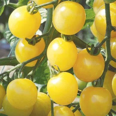 Cherry White white cherry organic tomato seed johnny s selected seeds