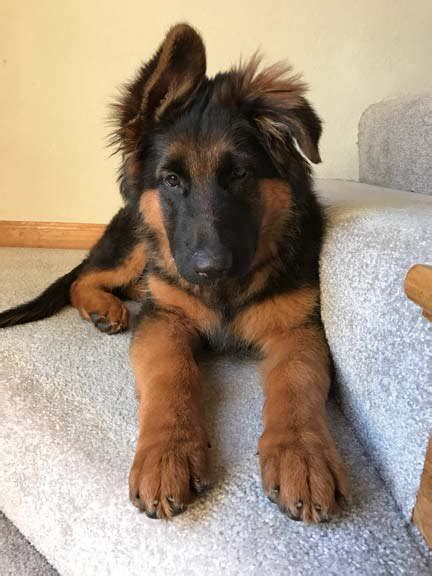 german shepherd puppies for sale in kansas city german shepherd puppy kansas city dogs our friends photo