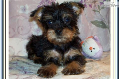 chorkie puppy pin chorkie pictures on