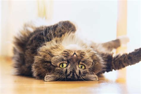 What Does Bedroom Eyes Mean Cat Behavior 17 Things Your Cat Wants To Tell You