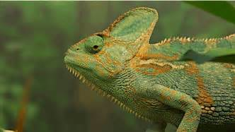 what of chameleon changes colors chameleons change color to stand out not blend in