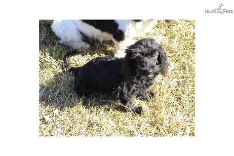 doxiepoo puppies for sale ckc doxiepoo puppies mixed other puppy for sale near greenville upstate south