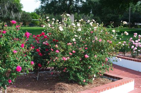 how to start a flower bed planning a new rose bed tips for starting a rose garden