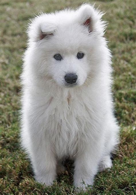 how much are samoyed puppies discover and save creative ideas