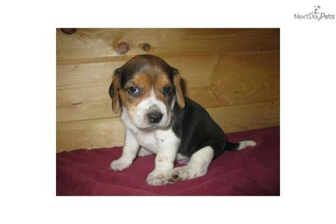 puppies for adoption in missouri beagle puppy for sale near southeast missouri missouri f5935f5a 9441