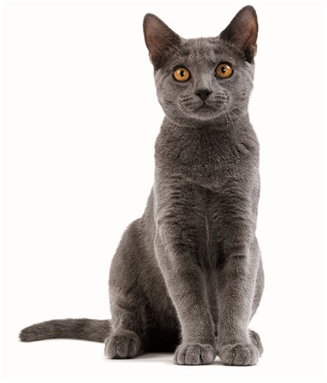 Cat Breeds / Chartreux   Royal Canin
