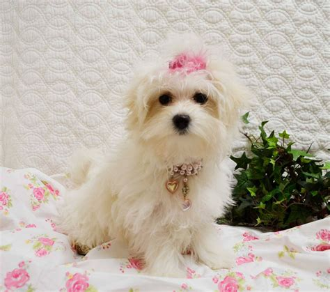 maltese puppies for sale in florida 500 maltese puppy available for sale 503 776 6360 dogs puppies