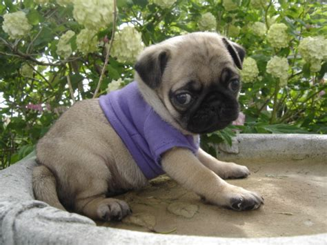 pug for sale seattle pugs for sale