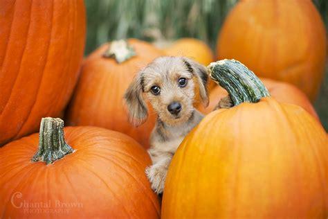 puppy and pumpkin my s pumpkin patch