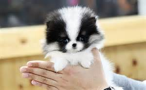 Do Teacup Pomeranian Shed by Black White Teacup Pomeranian I Wantttt