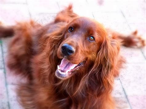 irish setter definition 25 best ideas about irish setter dogs on pinterest