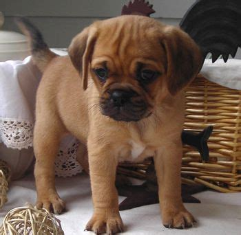 beagle pug mix puppies for sale best 25 mix ideas on mixed breed terrier mix breeds and