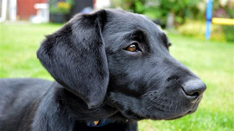 how many puppies can a lab black lab puppy images www pixshark images galleries with a bite