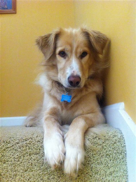 golden retriever and collie mix golden border golden retriever border collie mix