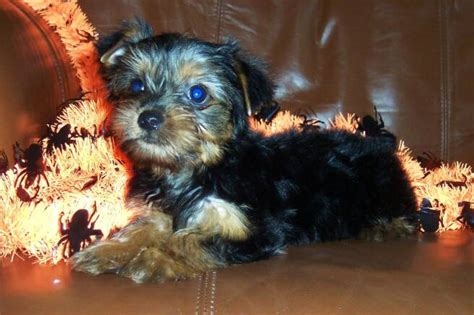 how often should i give my yorkie a bath pocketbook pups terriers puppies
