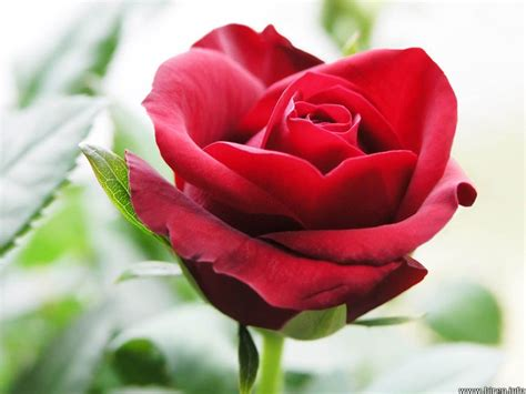 beautiful red roses wallpapers rose wallpapers