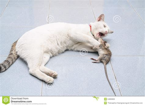 house mouse bites cat catch and bite mouse rat stock photo image 54890826