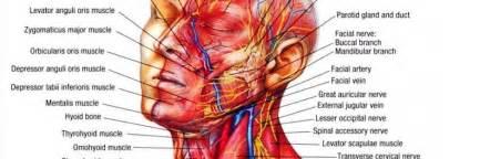 human anatomy neck human anatomy charts