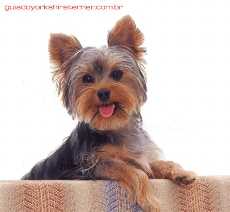 when does a yorkie stop growing 6 month yorkie hairstylegalleries