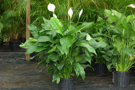 poisonous house plants for dogs is your spathiphyllum poisonous to dogs or 1 sad dog s life story
