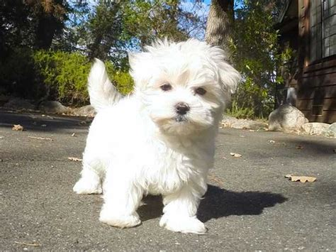 dogs for sale bay area akc cutest maltese puppy for sale in the bay area for sale