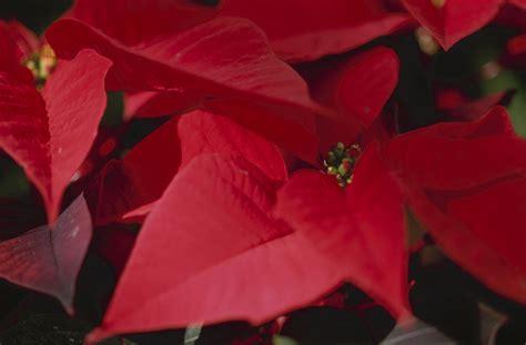 Weihnachtsstern Pflegen by Weihnachtsstern So Pflegen Sie Ihn Richtig