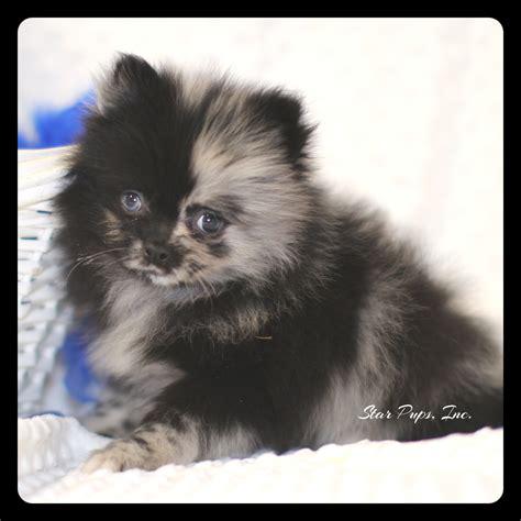 pomeranian shop pomeranian m blue merle sold pups