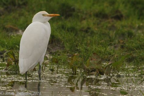 brian s birding blog cattle egret at iken