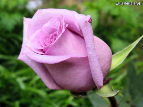 color roses flower wallpapers flower pictures flowers