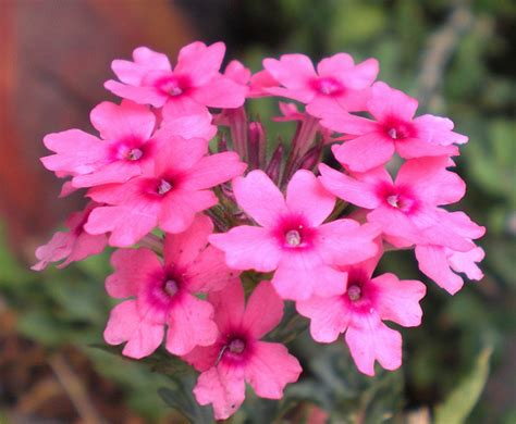 flower pictures verbena flowers pictures meanings lemon verbena flower