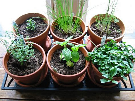 growing herbs in the garden valley news herb guide news