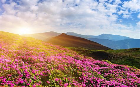 wallpaper rhododendron flowers mountain summer pink